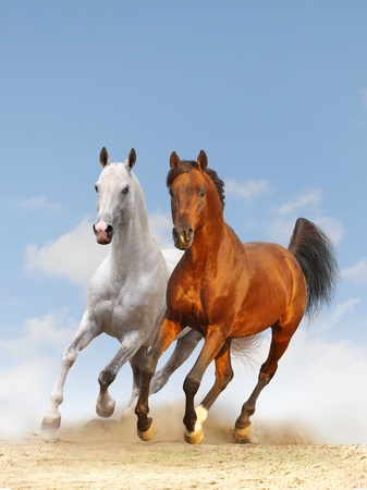 horses in the wild: two atallions in dust