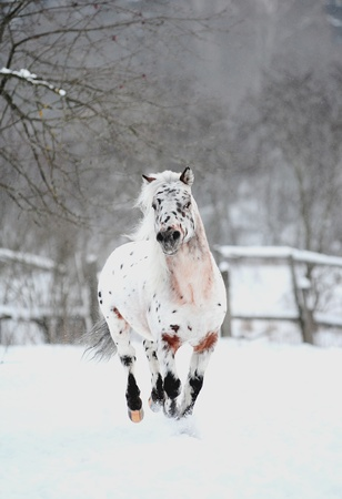 appaloosa pony in winter photo