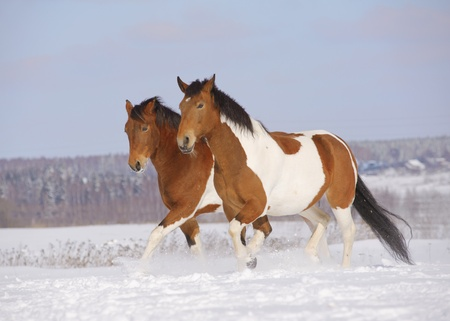 pinto horses in winter photo