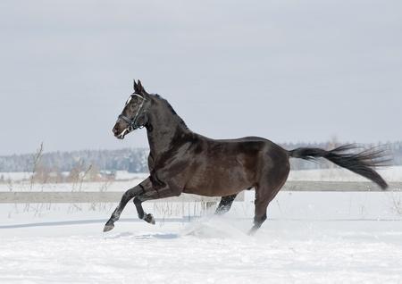 trotting: black horse in winter