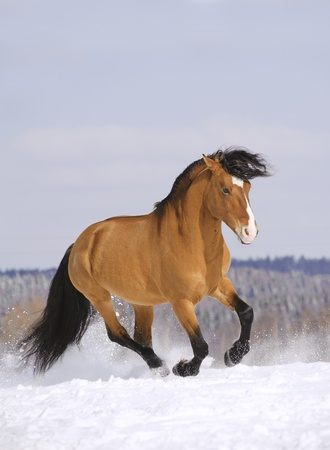 stallion running in snow photo