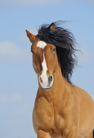 mustang horse Stock Photo
