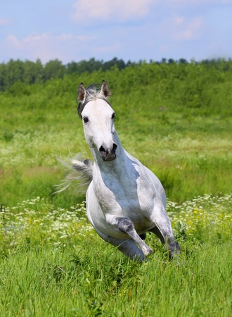 white horse running photo