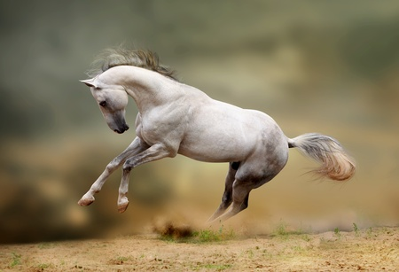 silver-white stallion playing in dust photo