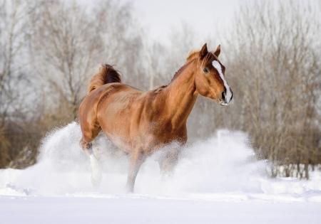 arab stallion in snow photo