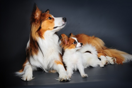 dissimilarity: big and small (border collie and papilion puppy Stock Photo