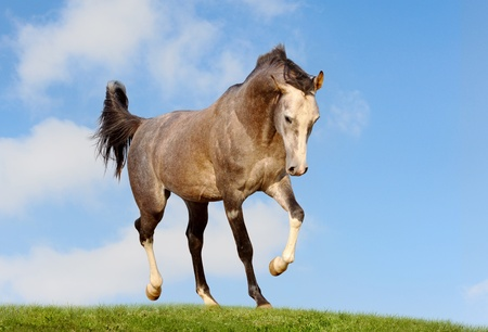 trotting: arab horse in field