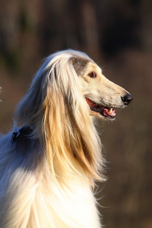 white afghan hound Stock Photo - 13274983