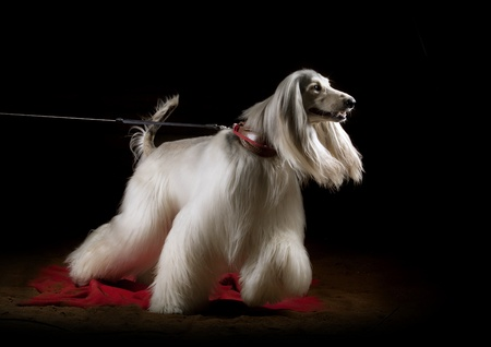 dog grooming: afghan dog indoors, studio shot
