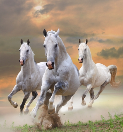 wild horses: white stallions in dust in a sunset
