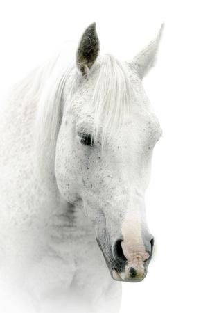 cabeza de caballo: caballo blanco sobre fondo blanco