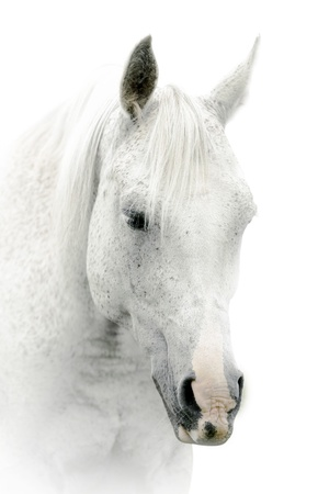 white horse on white photo