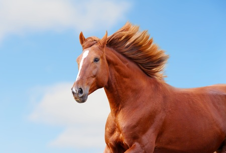 chestnut horse Stock Photo - 13274986