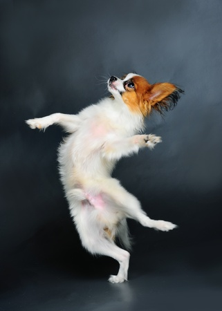 long haired chihuahua: pappion puppy dancing