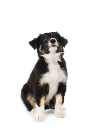 cute puppy isolated on white photo