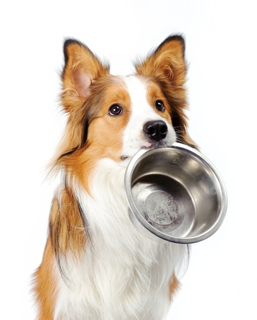 herding dog: dog with empty bowl Stock Photo