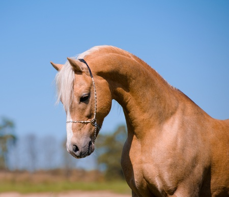 palomino stallion photo