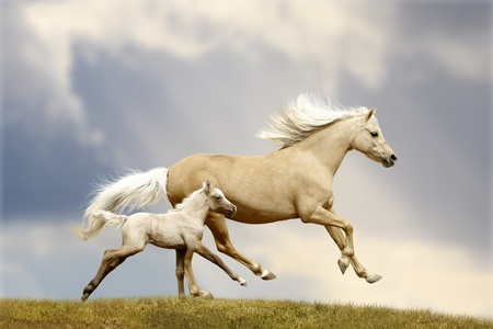 welsh pony mare and foal in field Imagens