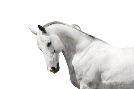 thoroughbred: white horse