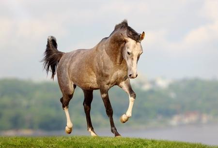 caballos corriendo: Caballos Árabes Foto de archivo