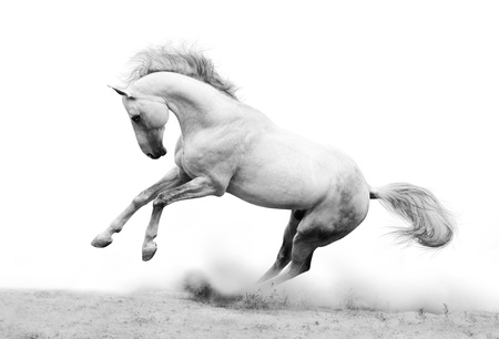 silver-white stallion in dust photo