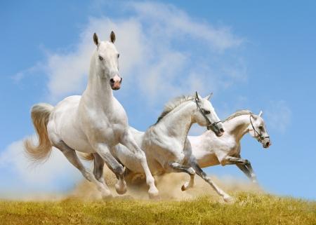witte paarden Stockfoto