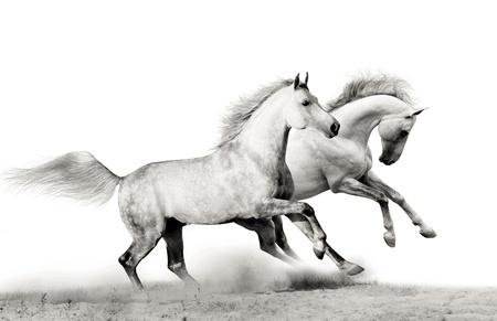 fast forward: stallions running Stock Photo