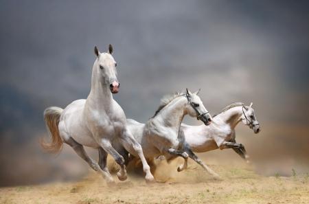 Weißen Pferden Standard-Bild - 13743363