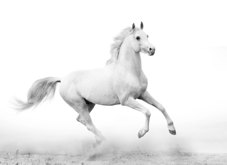 black and white farm: white stallion Stock Photo