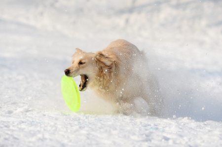 retriever catching disk in snow photo