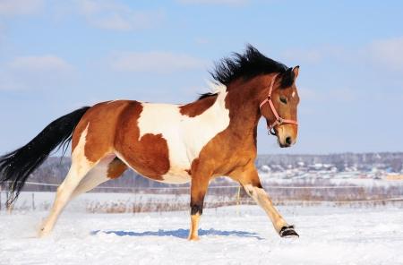 pinto: pinto horse Stock Photo