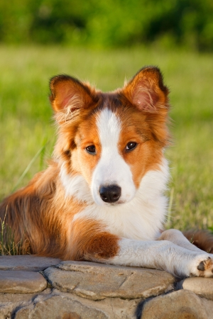 animal border: border collie puppy