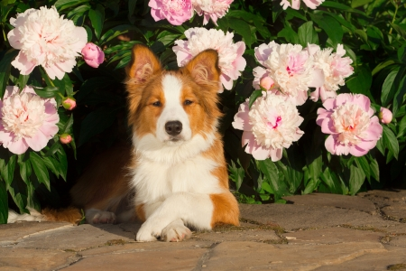 border collie: dog in flowers