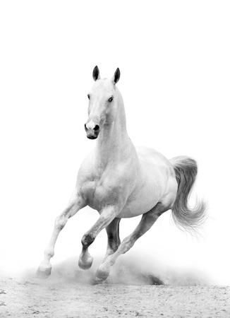 wit paard in stof Stockfoto