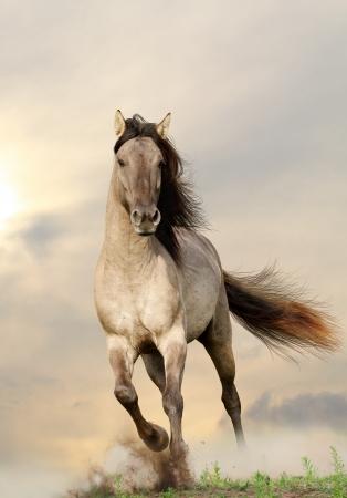 wild horse: wild stallion running in sunset