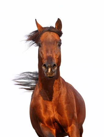 arabian horse closeup in motion photo