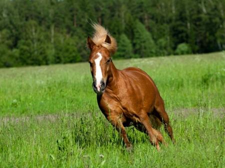 shetland pony: shetland pony