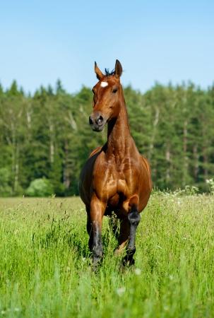chestnut male: purebred horse
