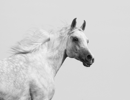 gelding: white arabian stallion Stock Photo