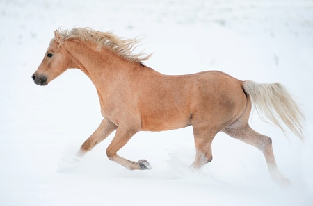 palomino pony photo
