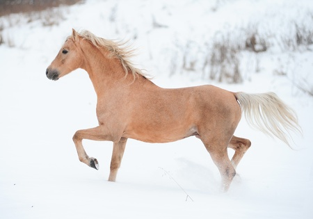 palomino pony in winter photo
