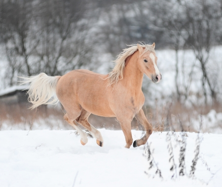 palomino pony photo