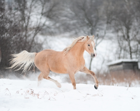 palomino pony in winter Stock Photo - 14394530