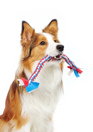 dog toy: border collie holding toy