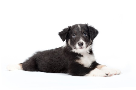 cute border collie puppy photo