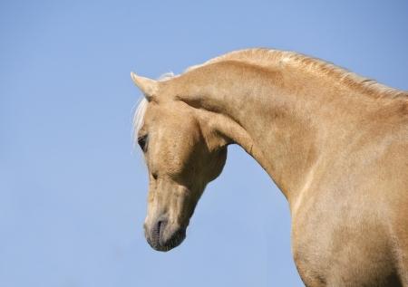 palomino horse photo