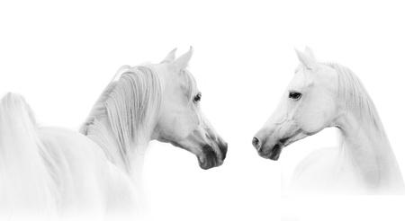 アラビアの白い馬 写真素材