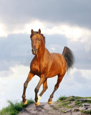 trotting: bay arab stallion Stock Photo