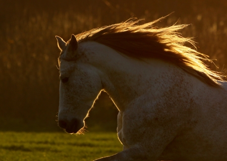 andalusian: horse in sunset. small DOF, on the mane