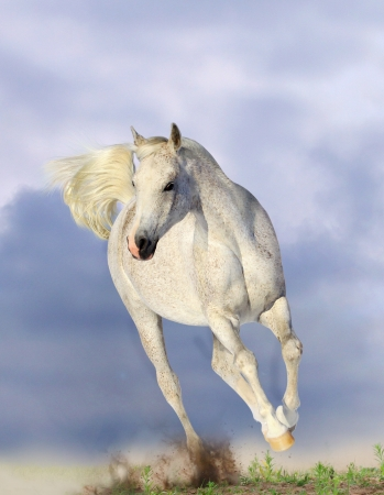 horses in field:  white arabian horse running in dust
